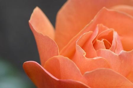 Rose in Garden Stock Photo