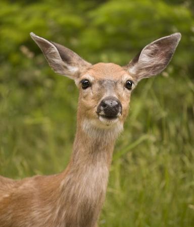 Deer Portrait Stock Photo