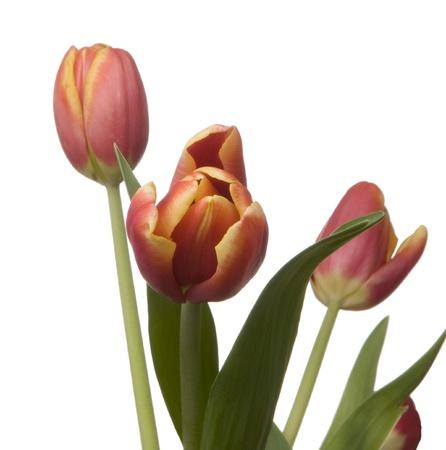 Springtime fresh Tulips