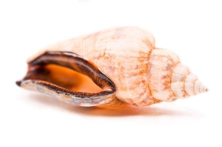 mollusca: Shell isolated on the white background