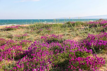 Flowers on the dunes off the coast Stock Photo