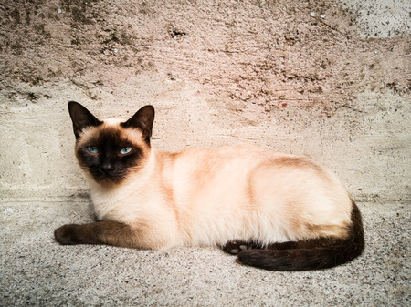 A siamese cat looking at the camera
