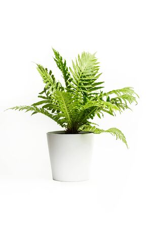 A fern in a white pot on a white background