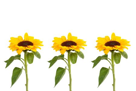 Three Sunflowers on a white background