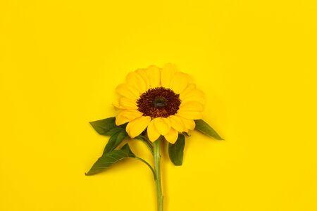 A sunflower on a yellow background Stok Fotoğraf