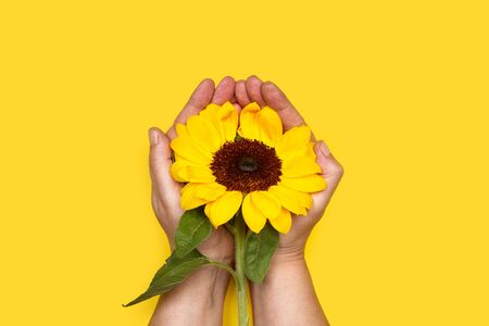 A sunflower on woman hands and on a yellow background Stok Fotoğraf