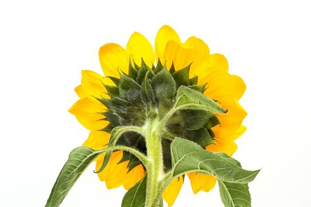 Back of a sunflower on awhite background