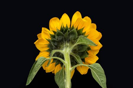 Back of a sunflower on a dark background