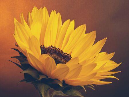 A sunflower on a dark background Stok Fotoğraf