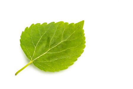 Blackberry leaf isolated on a white background 写真素材