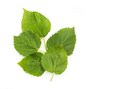 Blackberry leaves isolated on a white background