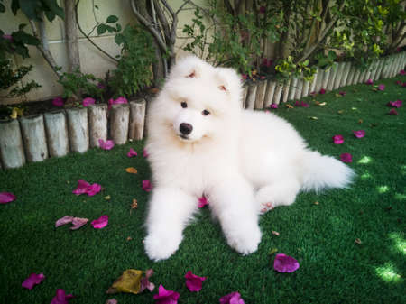 A white samoyed on the grass in a house garden