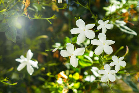 White jasmine flowers in a close up view