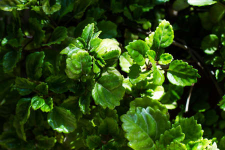 Leaves of a money plant in a sunny day in a close up view Standard-Bild
