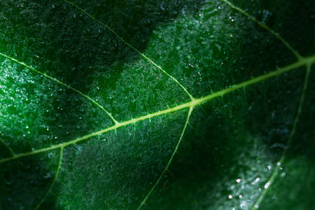 Fig leaf in a close up view