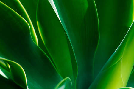 Leaves of agave in a close up view in a sunny day