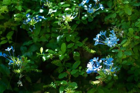 A jasmine plant with blue flowers Standard-Bild