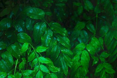 Wet jasmine leaves in a close up view