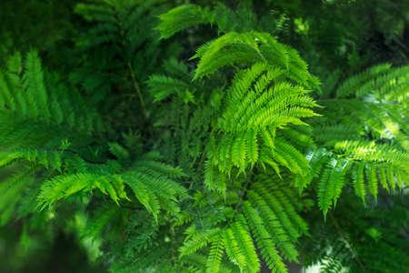 Green Jacaranda tree leaves in a close up view Standard-Bild