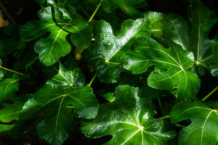 Fig leaves in a close up view Standard-Bild