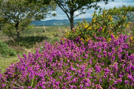 Beautiful heater purple and pink colour flowers on moors under beautiful heater purple and pink colour flowers on moors under summer sun in devon dartmoor national mightylinksfo