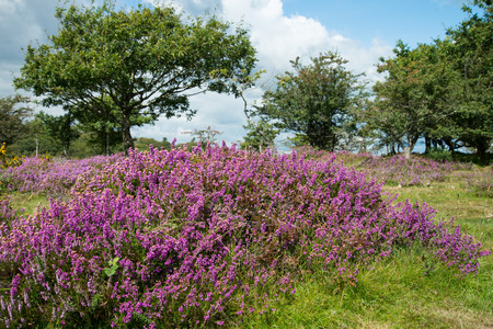 Beautiful heater purple and pink colour flowers on Moors under summer sun in Devon Dartmoor National Park