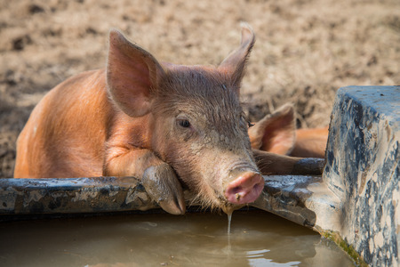 young pig: Cute baby pig drinking water