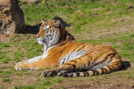 Tiger sleeping on grass in zoo photo