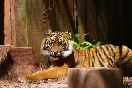 Tiger in shadow in zoo cage photo