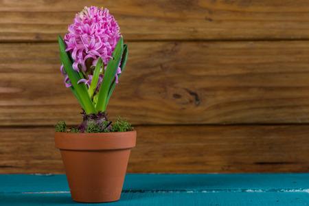 flower market: Fresh spring Hyacinth in ceramic pot