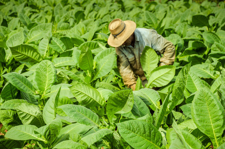 Valle de Vinales, CUBA - JANUARY 19, 2013: Man working  on Cuba famous and bigest  tobacco plantation in Vinales Valley , CUBA.Traditional techniques are still in use for agricultural production, particularly of tobacco. Editoriali