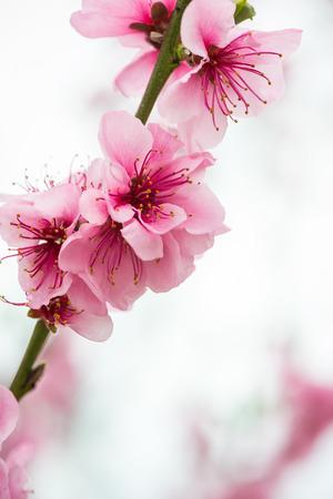 이른 봄에 피는 나뭇 가지