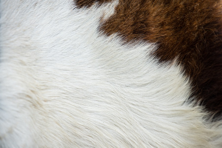 cow skin texture, template for background Stock Photo
