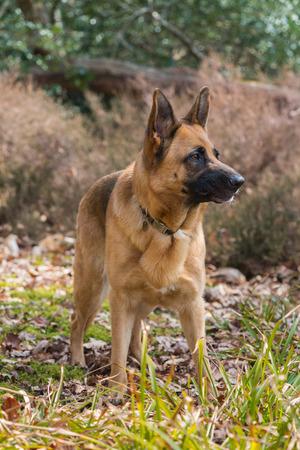 german shepard: German shepard dog outdoor