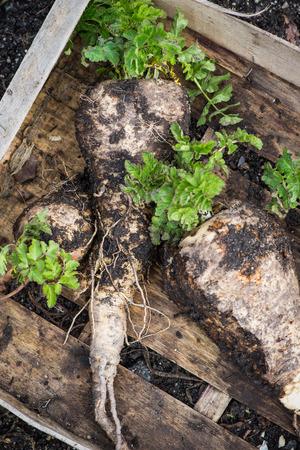parsnip: Farm fresh organic parsnip in field
