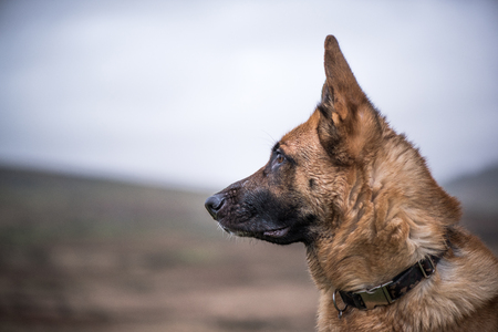 k9: K9 working security dog portrait with copy space Stock Photo
