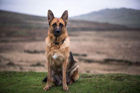 potrait: Potrait of german shepherd working dog sitting outdoor