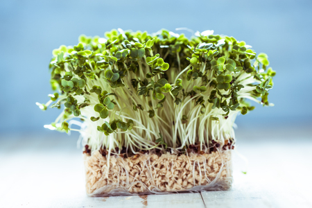sprout: Fresh healthy seed sprouts, healthy and clean eating concept.