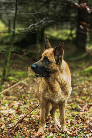 k9: Active German shepherd dog outdoor in forest. Full body portrait, working dog, purebred. Stock Photo