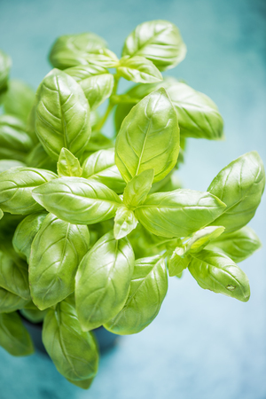 aromatic: Fresh and aromatic basil leaves,close view