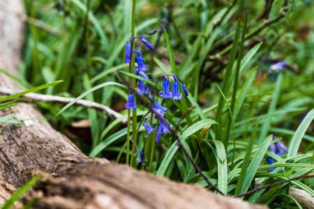 bluebell: Wild Bluebell flowers in woodland at spring morning, macro photo Stock Photo
