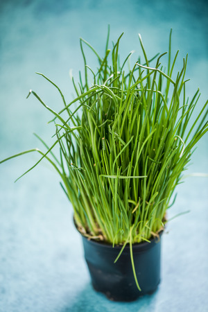 chive: Fresh organic chive in pot, growing on kitchen table