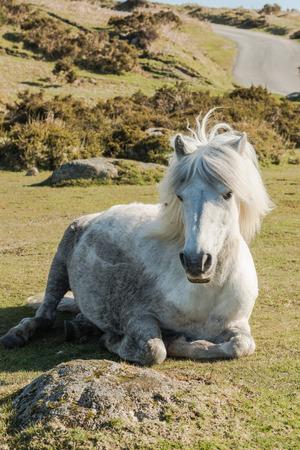 Dartmoor wild pony resting on grass in Dartmoor National Park, England