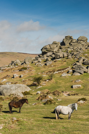 farmlife: Wild ponnies grazing in front of granite Tor in Dartmoor National Park, Devon,UK