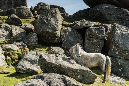 White wild pony against rocky hill in Dartmoor Park, Devon, UK