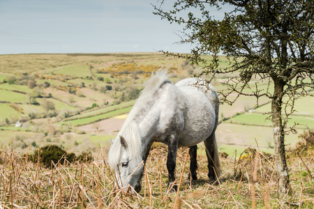 farmlife: White wild pony grazing in Dartmoor National Park, Devon,UK