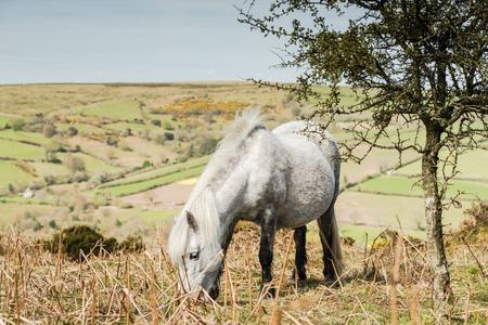 White wild pony grazing in Dartmoor National Park, Devon,UK