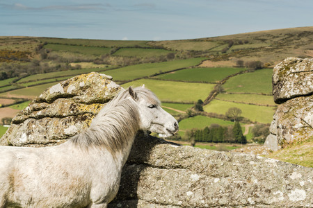 farmlife: White wild horse overlooking countryside and farmlands in Dartmoor, Devon, UK Stock Photo