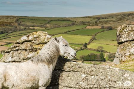 White wild horse overlooking countryside and farmlands in Dartmoor, Devon, UK Stock Photo