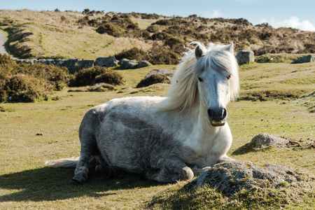 farmlife: Dartmoor wild pony resting on grass in Dartmoor National Park, England